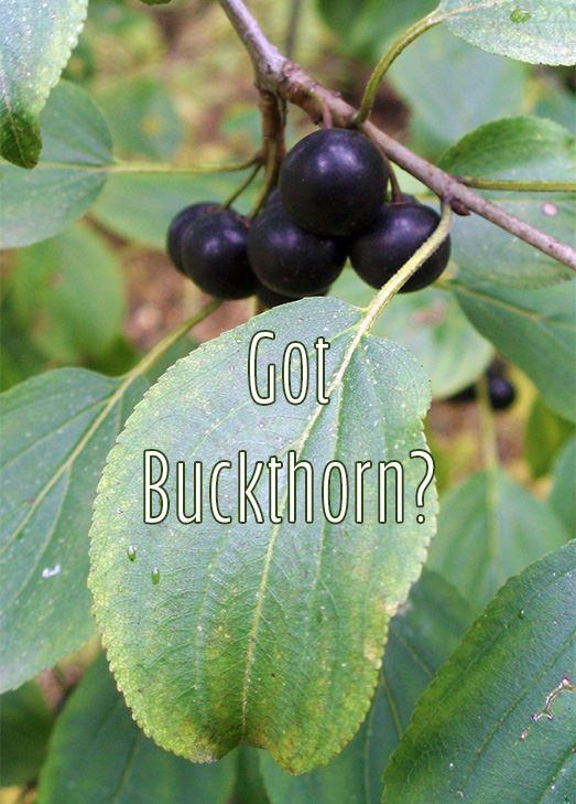 Close up of buckthorn leaf and berries. Text: Got Buckthorn?