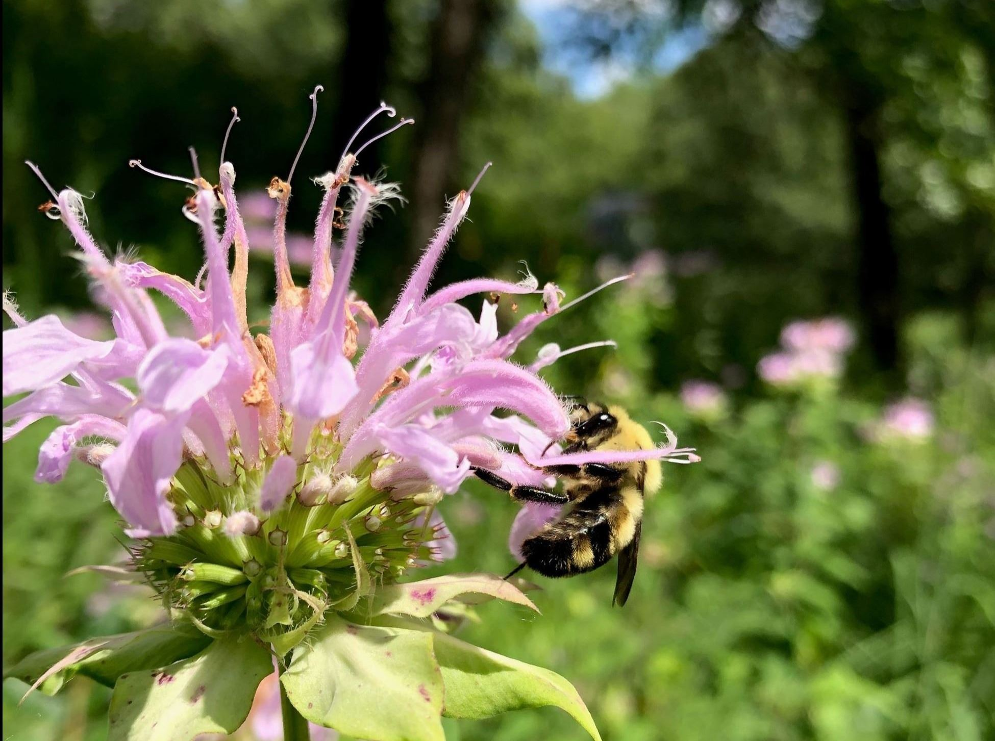 bumble bee on bee balm