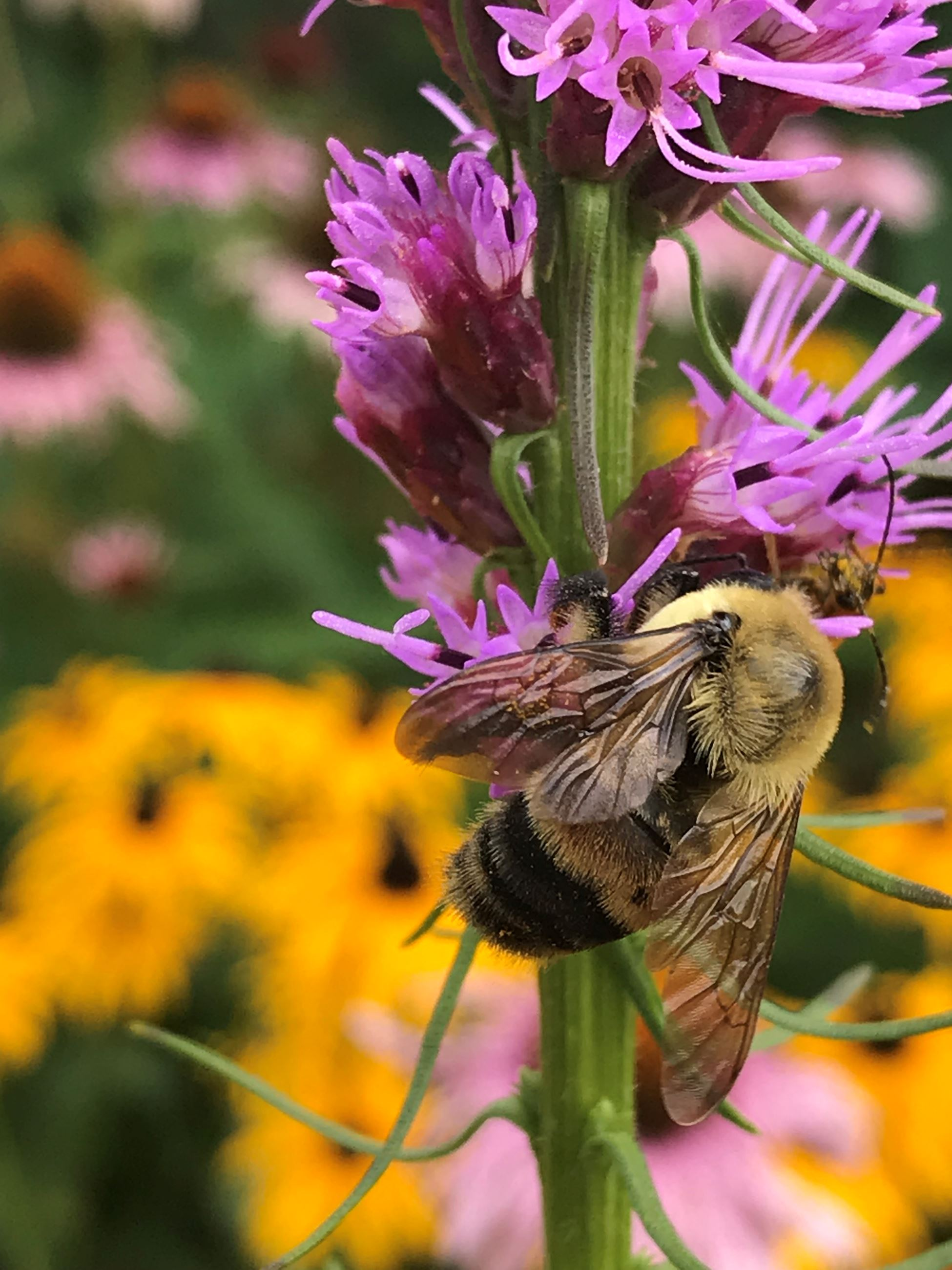 rusty patched bumble bee on liatris