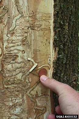 Evidence of emerald ash borers